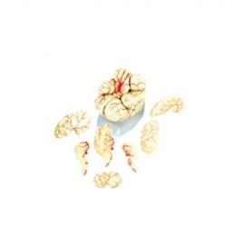 Modelo Cerebro Gigante con Arterias. Modelo CVQ7008 - Envío Gratuito