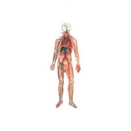 Modelo de Sistema Circulatorio. Modelo CVQ7069 - Envío Gratuito